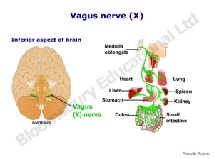 vagus_nerve_10